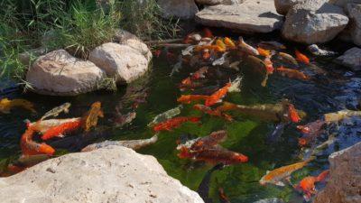 Japonští kapříci Koi - Palma Aquarium