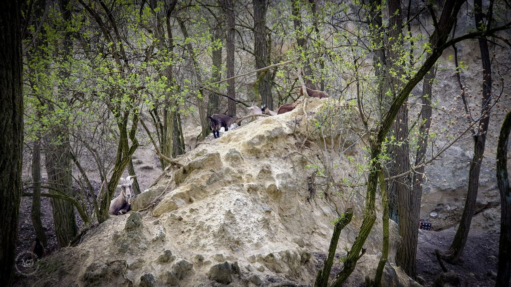Kobylí, Kobylská skála a kozy
