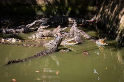 Krmení krokodýlů