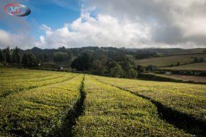 Goreana čajové plantáže 05