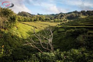 Goreana čajové plantáže 12